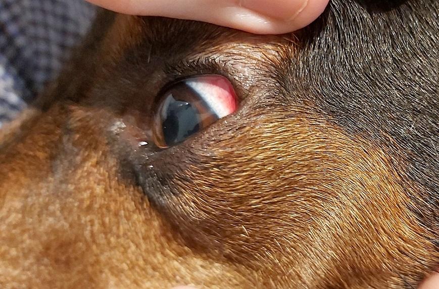 Fig 3. Congestión subconjuntival profunda bilateral en un paciente canino que cursa un cuadro agudo de Ehrlichiosis